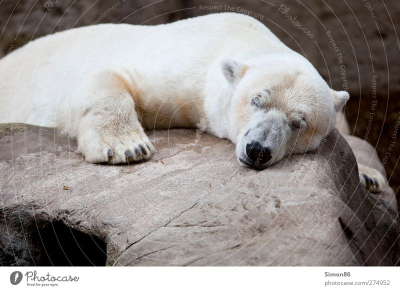 In a deep sleep Relaxation Calm Vacation & Travel Nature Rock Animal Wild animal Animal face Claw Paw Zoo 1 Stone Sleep Dream Cool (slang) Fat Large Cuddly