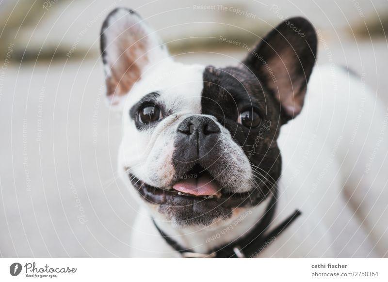 Iggy Animal Pet Dog Animal face 1 Laughter Fantastic Friendliness Happiness Happy Cute Black White Joy Joie de vivre (Vitality) Bulldog French Bulldog