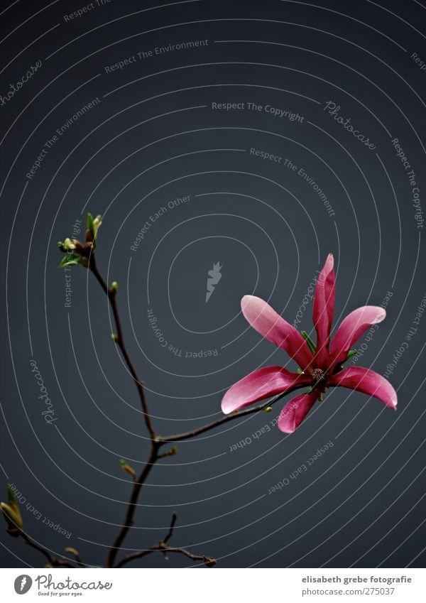 Nature Plant Blossom Moody Pink Esthetic Bushes Branch Fragrance Bud Wild plant Magnolia blossom