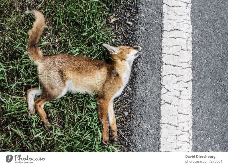 His last morning Traffic infrastructure Traffic accident Street Wild animal Dead animal Pelt Paw 1 Animal Brown Yellow Gray Death Red fox Accident Tails Line