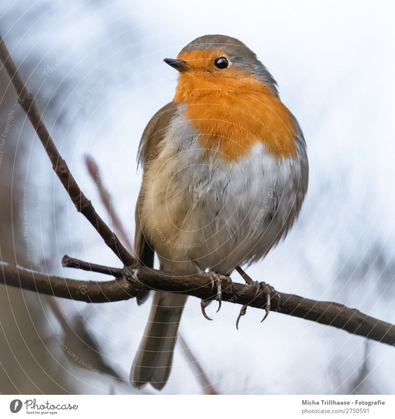 Redthroat Portrait Nature Animal Sky Sunlight Beautiful weather Tree Twigs and branches Wild animal Bird Animal face Wing Claw Robin redbreast Beak Feather Eyes