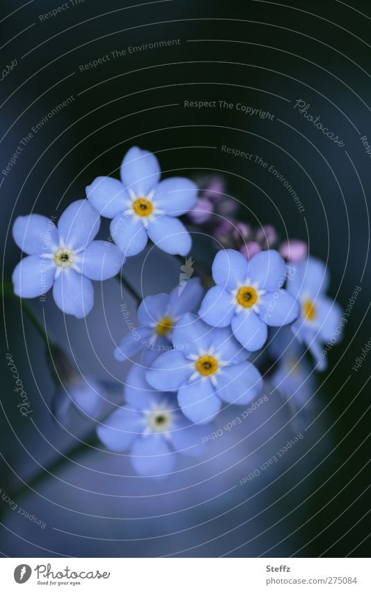 reasons to remember Valentine's Day Birthday Nature Plant Spring Flower Blossom Wild plant Forget-me-not Blossom leave Flowering plant Spring flower Blossoming