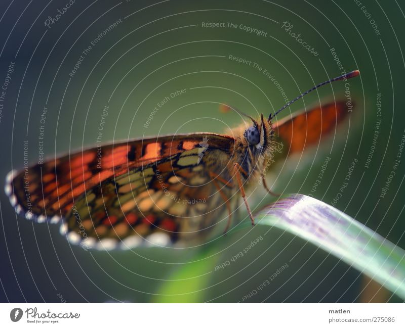 blue eye Animal Butterfly Wing 1 Blue Brown Green rest Feeler Grass Multicoloured Exterior shot Macro (Extreme close-up) Deserted Copy Space top Day