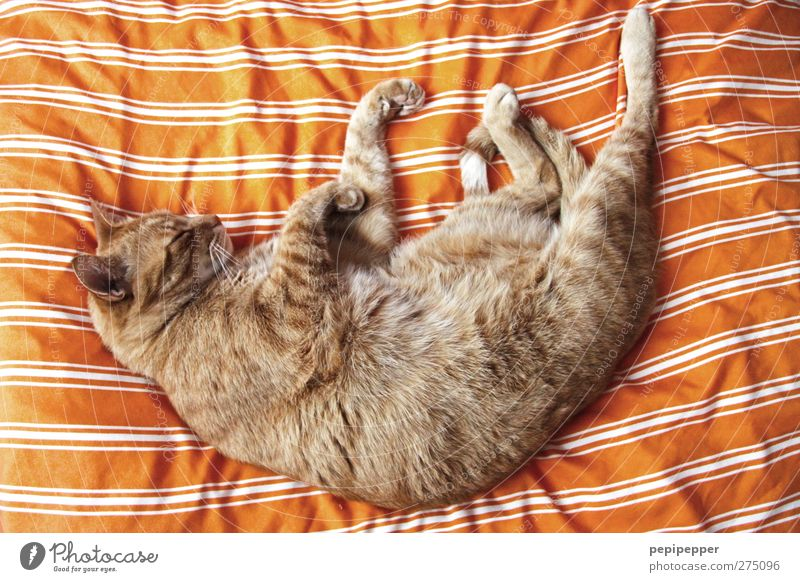 Cat Animal Line Orange Lie Sleep Cute Soft Pelt Animal face Serene Passion Hang Pet Paw Comfortable