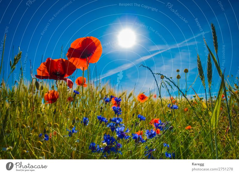 red poppies in a cornfield in the sunshine Environment Nature Landscape Plant Sky Cloudless sky Sun Sunlight Summer Beautiful weather Grass Blossom