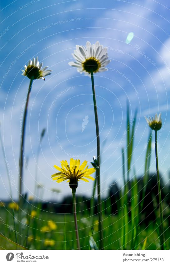 meadow Environment Nature Landscape Plant Sky Clouds Weather Beautiful weather Flower Grass Leaf Blossom Meadow Blossoming Stand Growth Blue Yellow Green Daisy