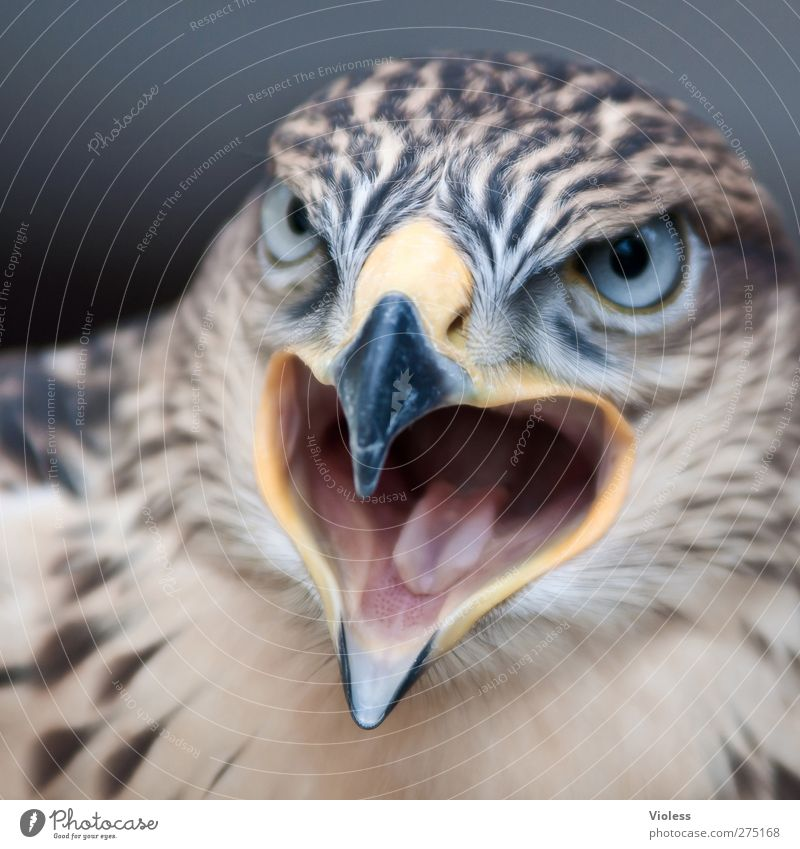 Animal Bird Power Dangerous Observe Threat Animal face Scream Aggression Bird of prey Face to face Falcon