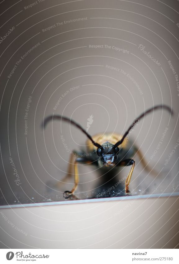 bug Antenna Animal Beetle 1 Small Gold Black Frontal Colour photo Exterior shot Detail Deserted Copy Space top Day Shallow depth of field Central perspective