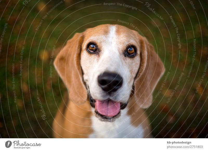 Portrait of a Beagle dog Animal Pet Dog 1 Looking race dog breed purebred portrait friendship mammal domestic animal young Clever head snout Floppy ears sweet
