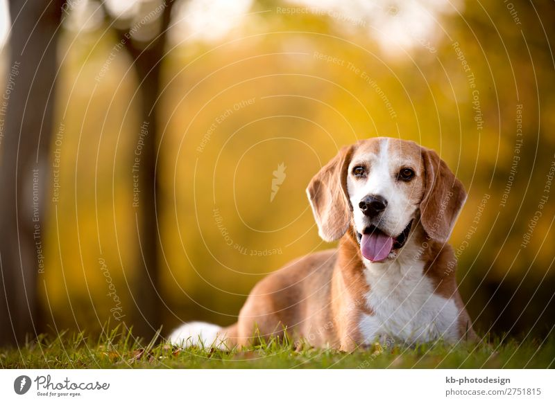 Portrait of a Beagle dog Animal Pet Dog 1 Looking Sit race dog breed purebred portrait friendship mammal domestic animal young Clever head snout Floppy ears