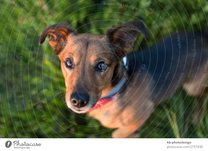 Dog Animal Baby animal Pet Clever Terrier Dachshund