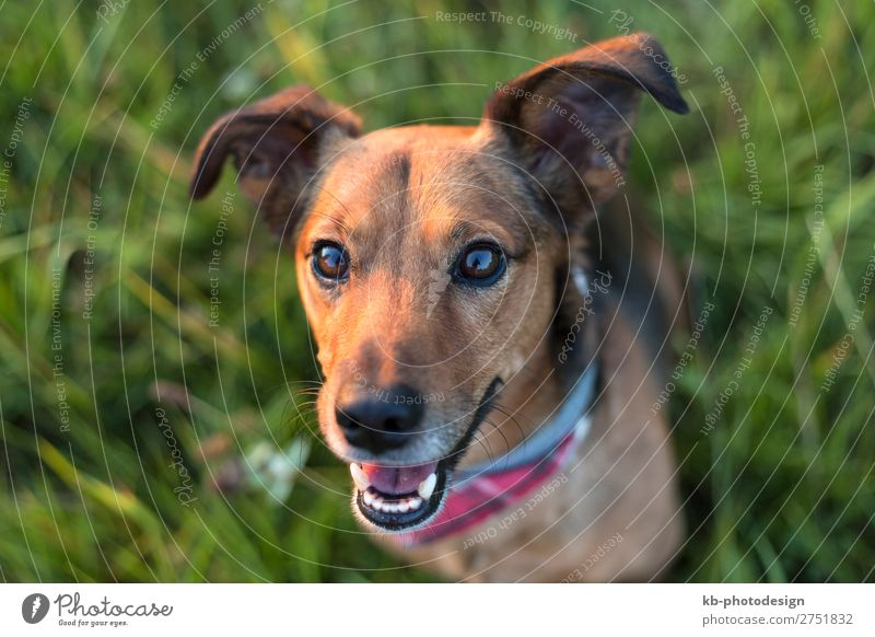 Dog Animal Pair of animals Pet Clever Terrier Dachshund