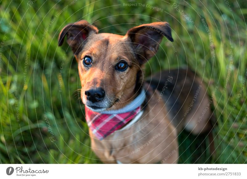 Portrait of a Terrier Dachshund Mix Animal Pet Dog 1 Wait mix mixture breed run running dog breed portrait friendship mammal domestic animal young Clever head