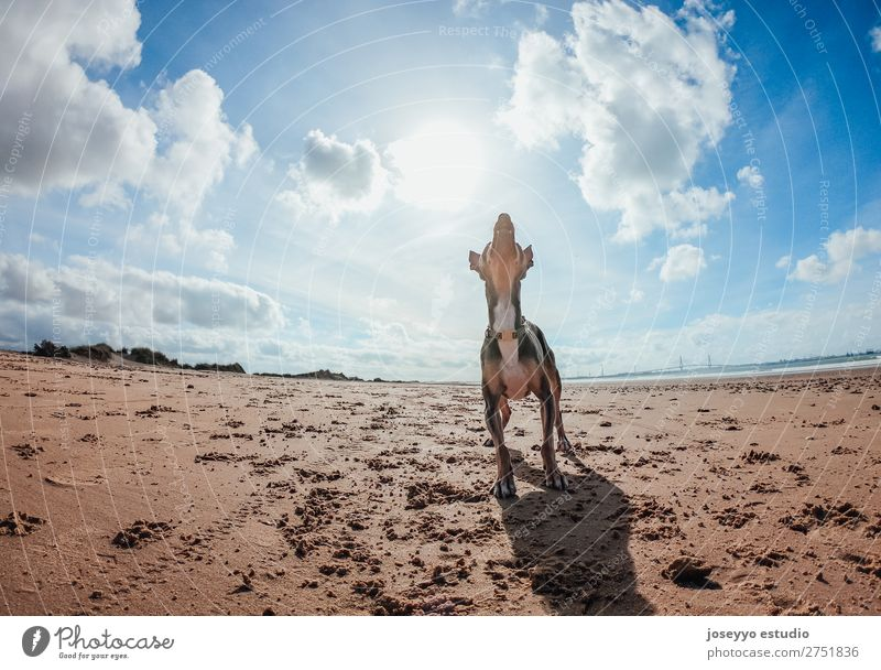 Dog waiting for playing Happy Beautiful Summer Beach Friendship Nature Animal Sand Pet Jump Thin Small Funny Gray action alert athletic ball Best big catch