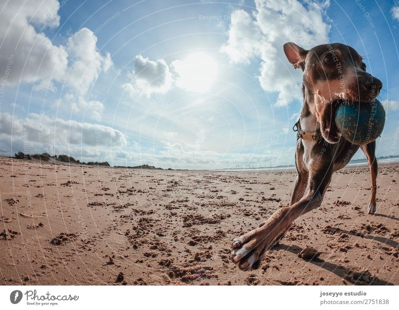 Mini pincher dog playing with the ball on the beach Happy Beautiful Summer Beach Friendship Nature Animal Sand Coast Pet Dog Jump Thin Funny Gray action alert