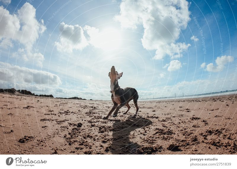 Mini pincher dog playing with the ball on the beach Joy Happy Beautiful Playing Summer Beach Ocean Friendship Nature Animal Sand Pet Dog Jump Thin Funny Gray