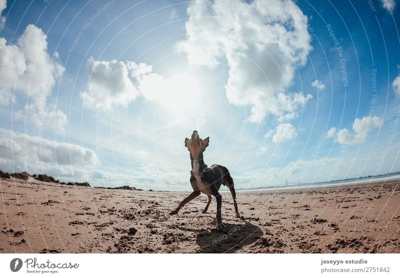 Mini pincher dog waiting for playing with the ball on the beach Happy Beautiful Summer Beach Friendship Nature Animal Sand Coast Pet Dog Jump Thin Funny Gray
