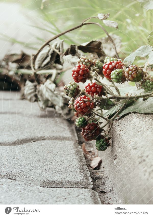 highwayman Fruit Environment Nature Plant Summer Autumn Bushes Wild plant Blackberry Stone Green Red Immature Mature Wayside Limp Thorn Creeper Roadside