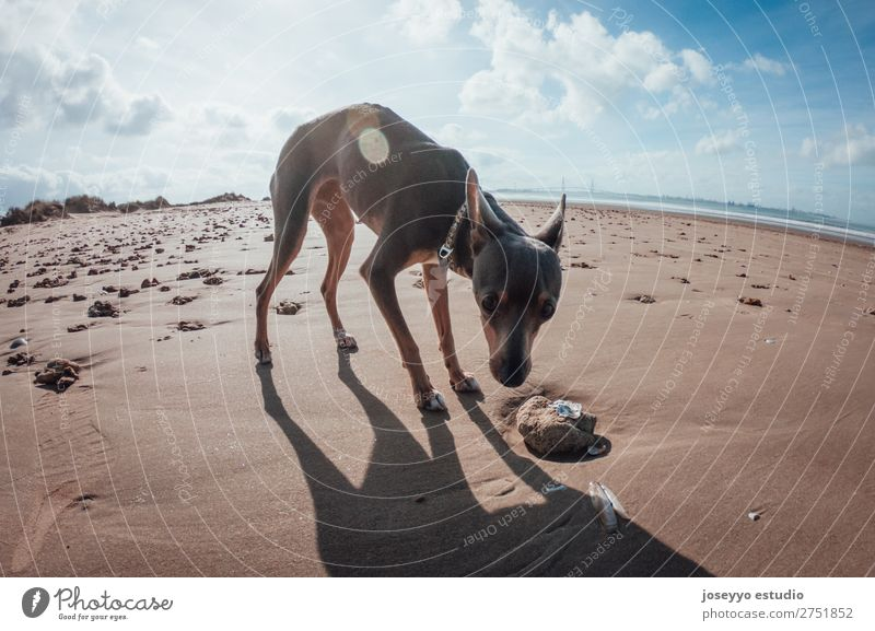 Dog on the beach Happy Beautiful Summer Beach Friendship Nature Animal Sand Pet Jump Thin Small Funny Gray action alert athletic ball Best big catch catching
