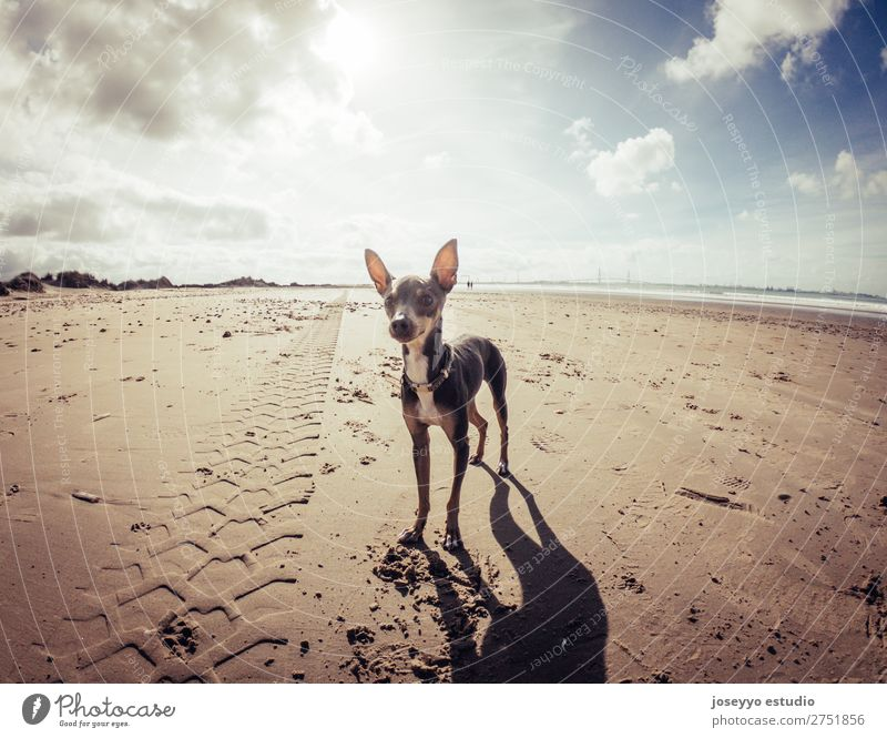Mini pincher dog waiting for playing with the ball on the beach Happy Beautiful Summer Beach Friendship Nature Animal Sand Pet Dog Jump Thin Small Funny Gray