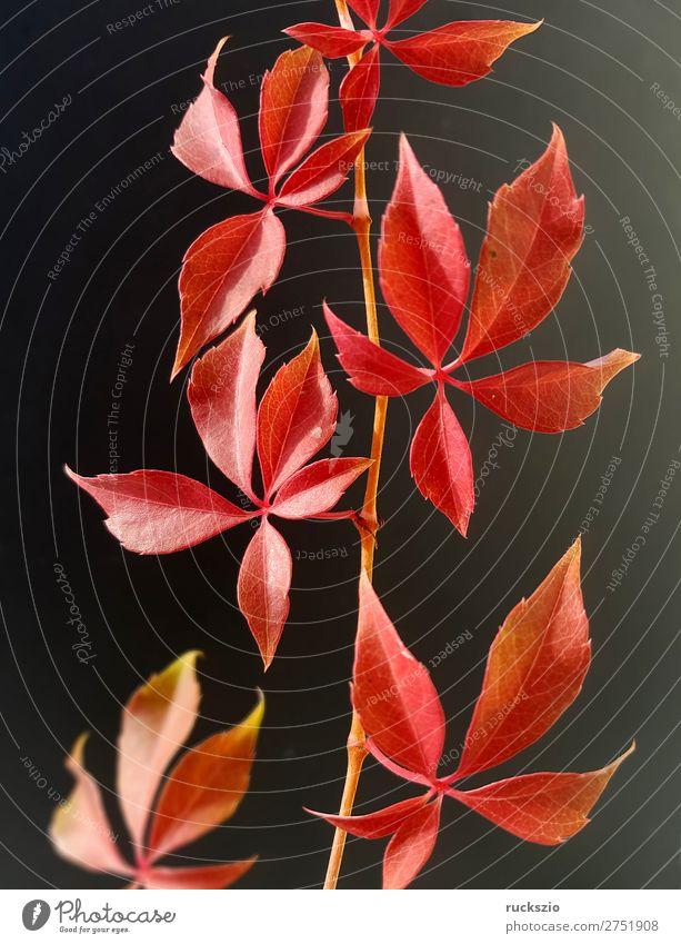 Wild Wine; Autumn, Parthenocissus quinquefolia Esthetic Vine Virginia Creeper Autumnal colours colored Colouring bower plant wild wine Autumn coloring colorful