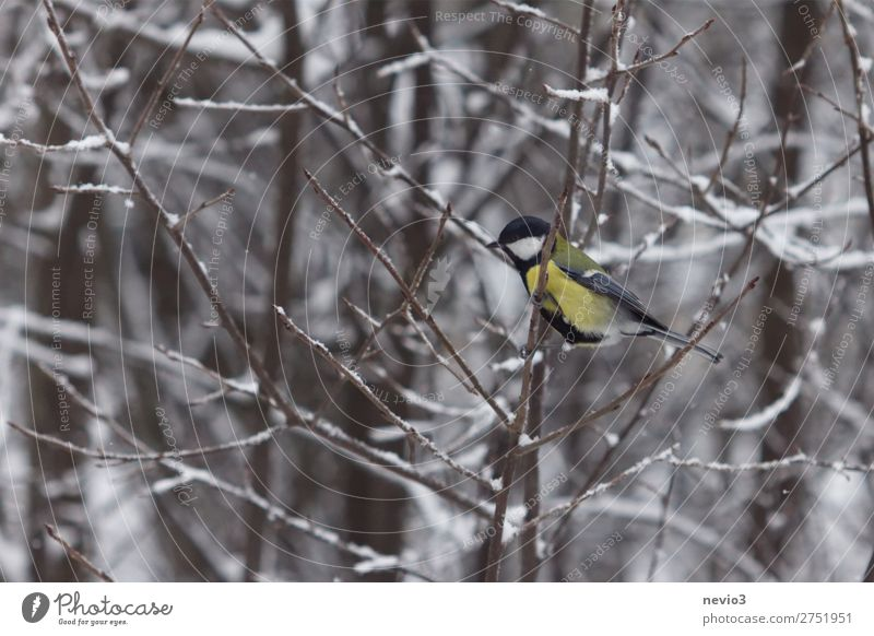Great tit in the hedge Nature Animal Wild animal Bird 1 Small Curiosity Cute Yellow Tit mouse Multicoloured Free Contrast Winter Winter forest Hedge Branch Snow