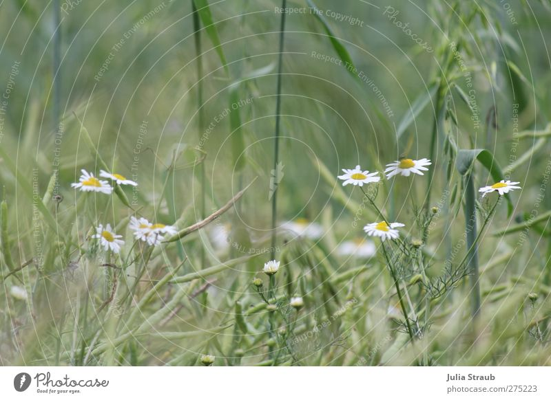 grain Nature Summer Beautiful weather Wind Warmth Camomile blossom Wheat ear Oat ear Field Brown Yellow Green Colour photo Exterior shot Day Deep depth of field