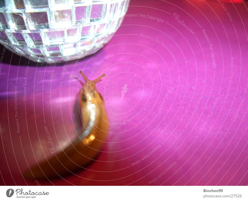 discotheque Slug Slowly Violet Crawl Pink Caution Feeler Party Creep Looking slippery cover Party goer Disco ball Smoothness Copy Space right
