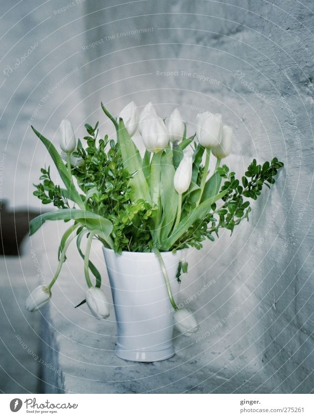 Hiddensee Schaprode ...what you always said... Plant Flower Tulip White Gray Green Wall (building) Wall (barrier) Vase Bouquet Line Hang Curved Leaf Cold Moody