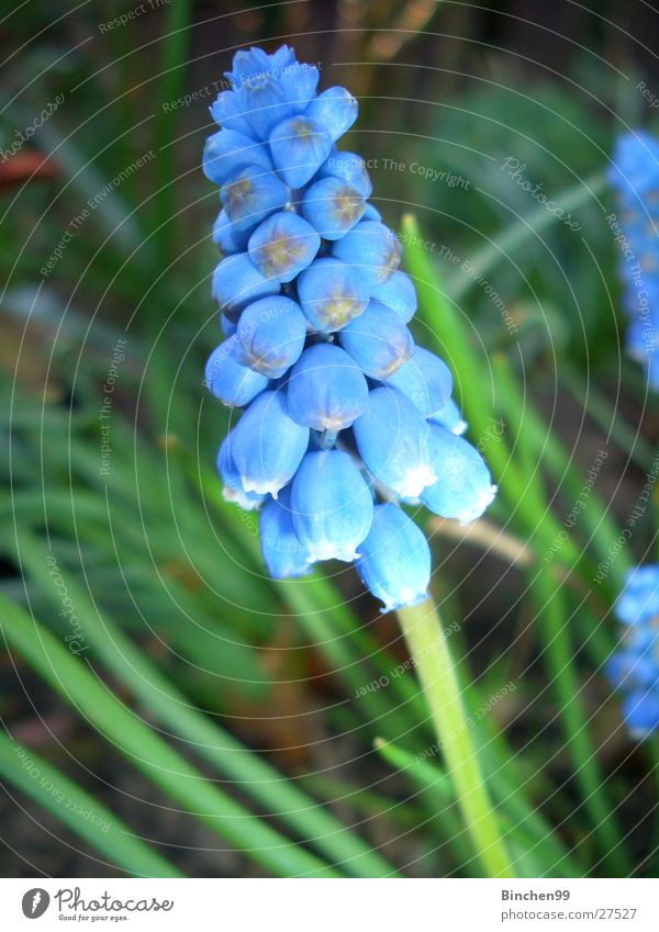 Blue miracle Flower Spring Green Garden Bed (Horticulture) Plant Muscari Lawn Nature