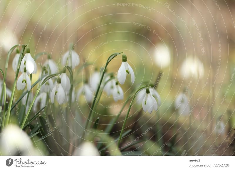 Snowdrops in the garden Nature Foliage plant Wild plant Blossoming Beautiful New Green White Moody Joie de vivre (Vitality) Spring fever Anticipation Flower