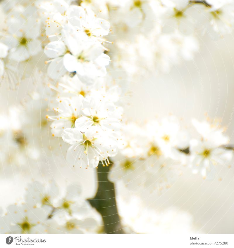 Nature White Beautiful Summer Plant Environment Spring Blossom Bright Natural Growth Bushes Branch Near Blossoming Fragrance