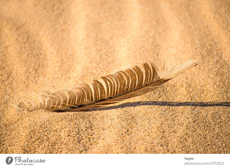 Bird feather on the beach Beach Nature Sand Wild animal Soft Brown Feather gull feather Sun Shadow Copy Space Colour photo Exterior shot Close-up Deserted