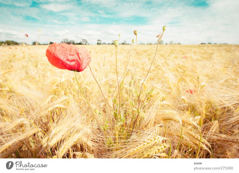poppy seed Summer Agriculture Forestry Environment Nature Landscape Plant Sky Clouds Beautiful weather Wind Blossom Field Growth Yellow Red Moody Poppy Harvest