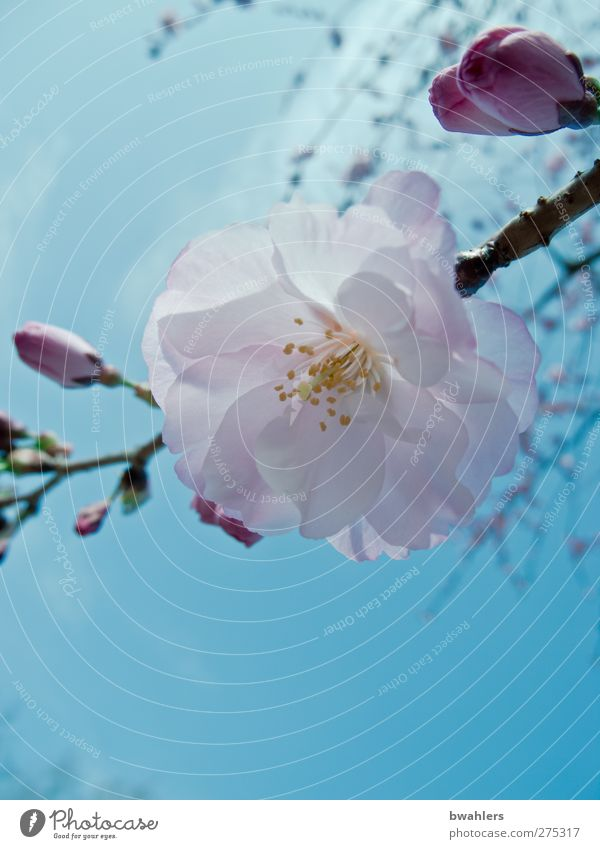 Sky Nature Blue White Plant Spring Blossom Pink Beautiful weather