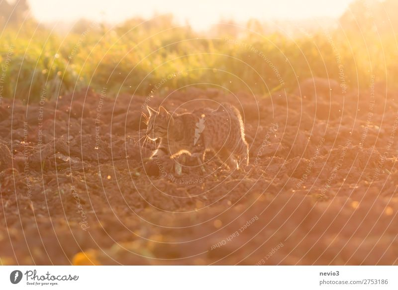 Tigered cat on the prowl Summer Sun Nature Landscape Grass Field Animal Cat 1 Hunting Yellow Gold Joie de vivre (Vitality) Spring fever Sunrise Sunset