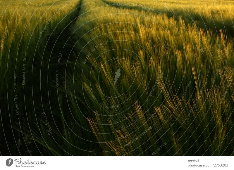 Barley field in late summer Summer Foliage plant Agricultural crop Field Fresh Healthy Beautiful Happy Joie de vivre (Vitality) Spring fever Carbohydrates