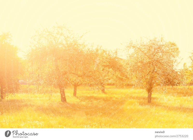 Old apple trees in the light of the morning sun Summer Summer vacation Sun Nature Landscape Tree Grass Garden Park Meadow Beautiful Yellow Gold Emotions