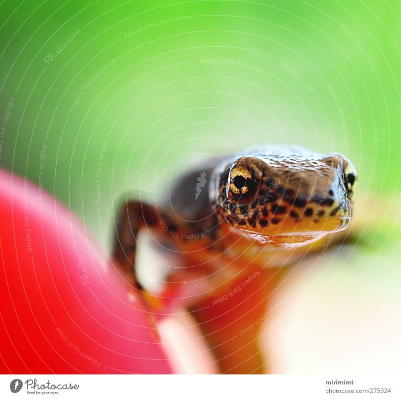 Molchi on the move Animal Frog Animal face 1 Near Curiosity Brown Gold Green Orange Red Newt Radish Leopard print Colour photo Exterior shot