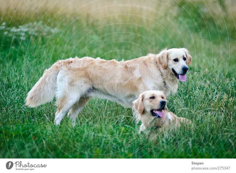 thrice happy golden retriever lying on the grass (field) Dog Nature White Green Beautiful Plant Animal Black Grass Garden Park Healthy Field Gold