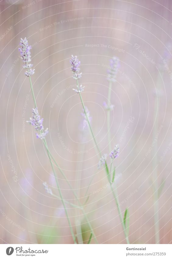 lavender Environment Nature Plant Flower Blossom Agricultural crop Violet Lavender Soft Smooth Flower meadow Colour photo Subdued colour Exterior shot Deserted
