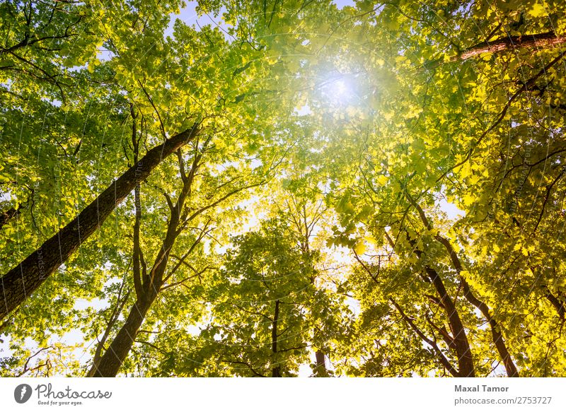 Forest and Sky with Sun Nature Plant Tree Leaf Park Fresh Bright Yellow Green background bark branch branches light Looking up oak Oak tree Ray spring sunny