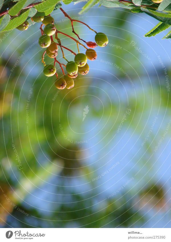 Nature Blue Green Summer Tree Red Animal Autumn Mature Hang Berries Immature Rawanberry Rowan tree