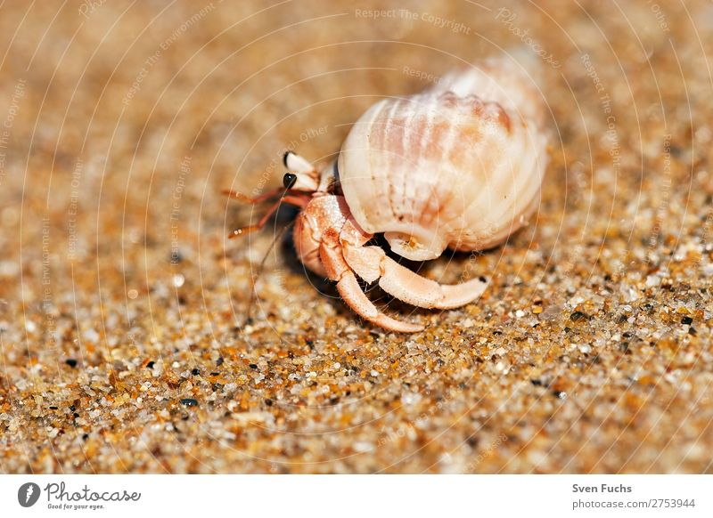 Hermit crab running on sandy beach Exotic Vacation & Travel Summer Beach Ocean Living or residing House (Residential Structure) Nature Animal Sand Water Coast