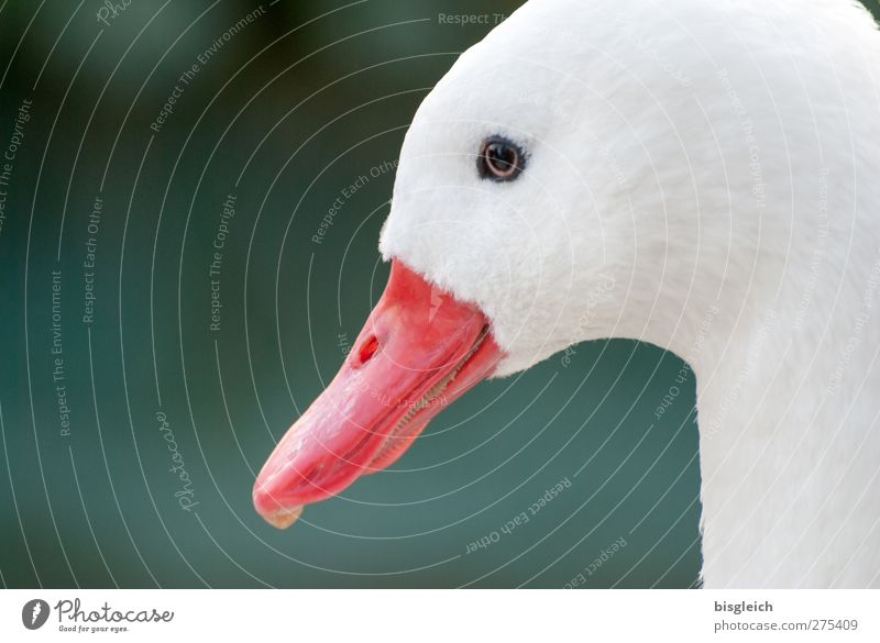 Moment V Animal Bird Animal face Goose Beak Eyes Head 1 Looking Green Red White Attentive Watchfulness Colour photo Exterior shot Copy Space left Day