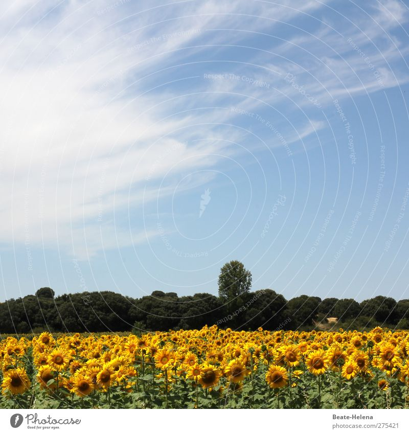 The North Spanish Summer Leisure and hobbies Vacation & Travel Far-off places Summer vacation Plant Blossom Sunflower Field Blossoming Discover Relaxation