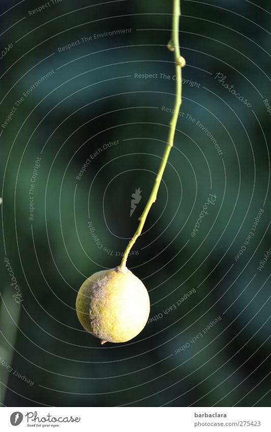 Ring in the weekend Fruit Nature Agricultural crop Lemon Garden Sphere Hang Fresh Bright Juicy Sour Blue Yellow Green Esthetic Healthy Growth Colour photo