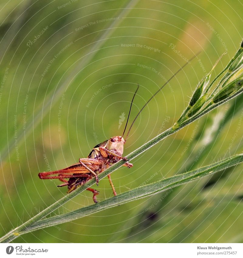 hop Plant Grass Meadow Animal Locust 1 Gold Green Red Insect Feeler Ankle bone Summer Colour photo Exterior shot Macro (Extreme close-up) Day Flash photo