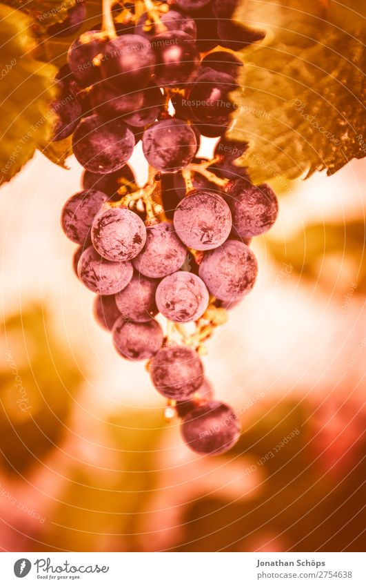 Grape in a vineyard Lanes & trails Pink 2019 Color of the Year 2019 Color of the year colour trends France Sky Coral Living Coral Color chart