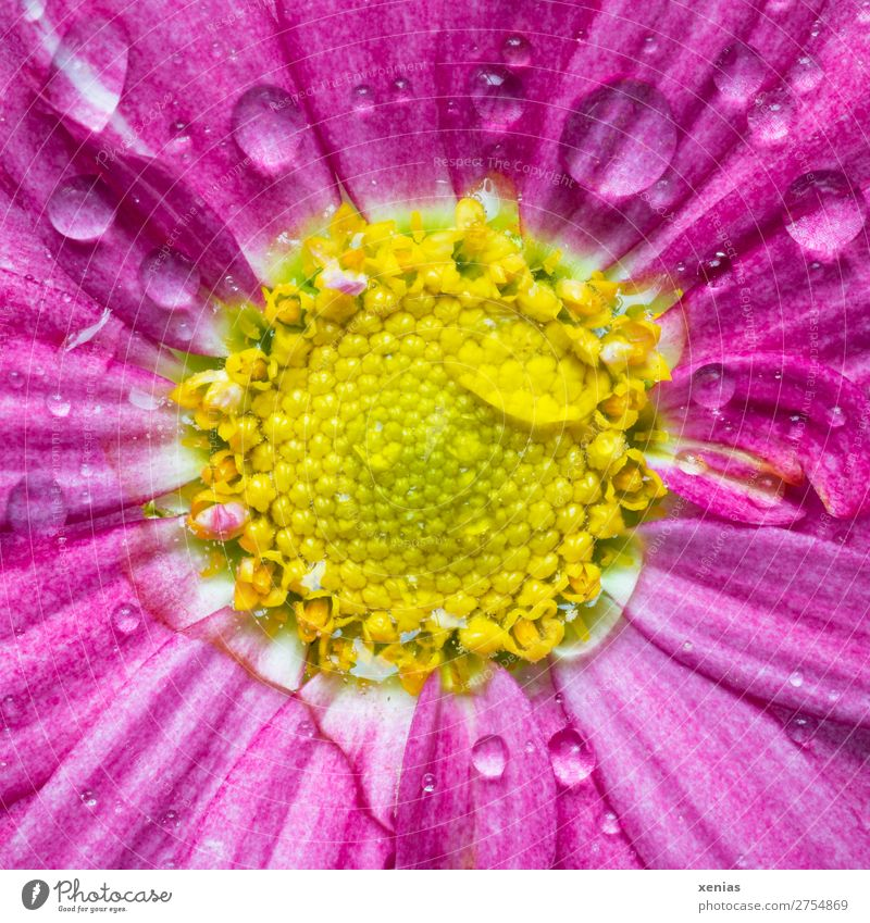 Pink daisy with drops of water Spring Summer Flower Blossom Marguerite Blossoming Wet Yellow Drops of water Common chicory Colour photo Studio shot